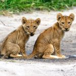 Lion cubs in Chobe, taken by Mike Hoare