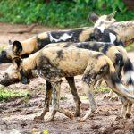 African wild dog in Chobe, taken by Mike Hoare