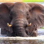 Elephant seen during a Chobe River boat safari, taken by Darren Humphrys