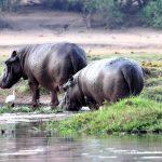 Hippo seen on the riverbank during a Chobe River boat safari
