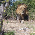 Lion seen during a Chobe game drive, taken by Josef Rössel