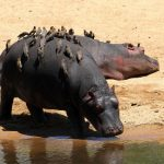 Hippos seen on the banks of the Chobe River during a game drive